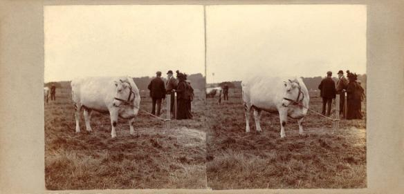 21 - Elliott, Coldstream - 1st prize cow Kelso 1899